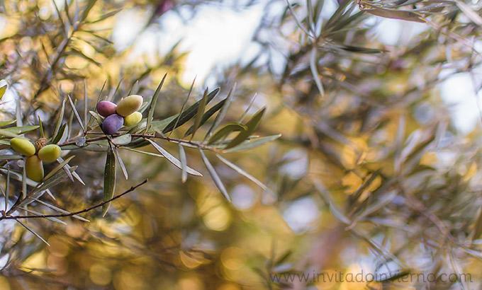 imagen de olivo