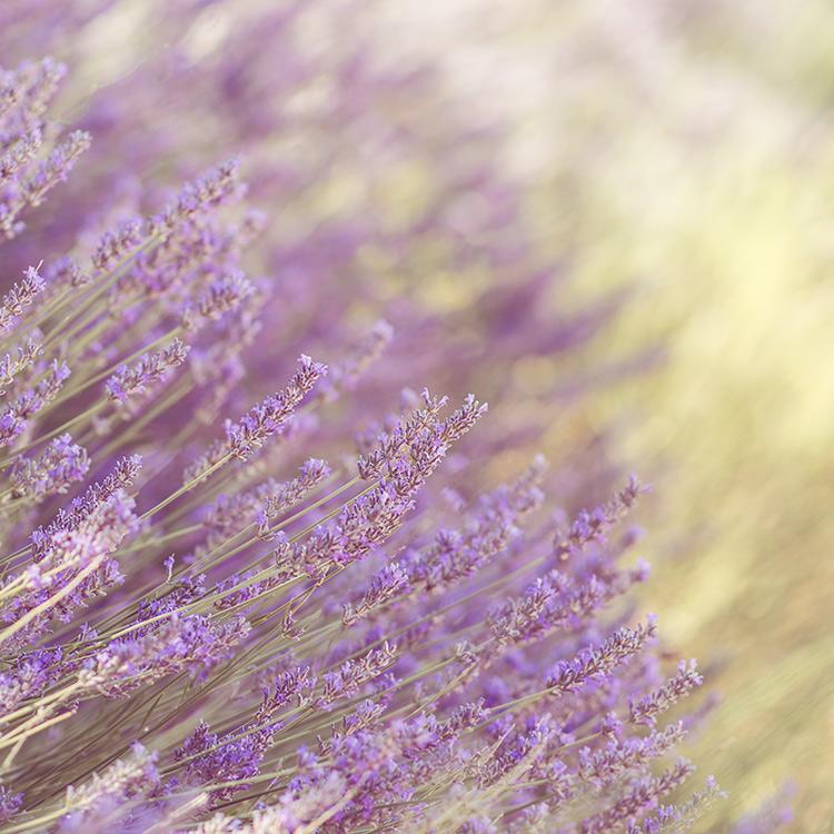flores espliego lavanda